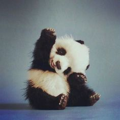 baby panda cub sitting smiling waving hi bear cute animals wild wildlife species planet earth nature pics pictures photos images Cute Wild Animals, Animals Beautiful, Animals And Pets, Hello Beautiful, Adorable Baby Animals, Cutest Animals, Beautiful Life, Tier Fotos, Cute Panda