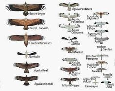 Migration - birds of prey Bird Identification, Bird Migration, Tattoo Project, Bird Wings, Nature Drawing, Animal Posters, Ocean Creatures, Mini Paintings, Birds Of Prey