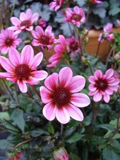 dark angel dahlia flower   Big Bloomers Flower Farm: Purple Dahlias-Pick a Size...Any Size