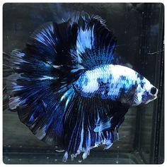 AquaBid.com -  BLUE PANDA (2001)