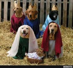 Funny pictures about Fleas Navidog. Oh, and cool pics about Fleas Navidog. Also, Fleas Navidog. Animals And Pets, Funny Animals, Cute Animals, Christmas Animals, Christmas Dog, Merry Christmas, Christmas Nativity, Christmas Dachshund, Christmas Cards