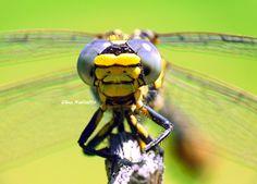 Libélula - Dragonfly
