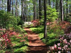 A path planted with flowering shrubs and trees like azaleas, spiraea, dogwoods, flowering cherry, butterfly bush, camellia japonica, camellia sassanqua, crape myrtle, saucer magnolias, or hydrangeas make a repeat blooming every year so you can enjoy it over and over again and they get bigger and better each year.