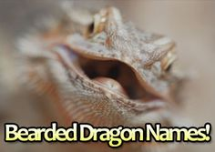 Awesome Names For Bearded Dragons:  http://www.yourbeardeddragon.com/bearded-dragon-names/  #beardeddragons #pets #reptiles