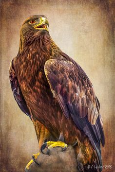 Golden Eagle Photograph by F Leblanc Eagle Pictures, Bird Pictures, Eagle Drawing, Eagle Painting, Angry Animals, Oak Tree Tattoo, Eagle Art, Eagle Tattoos, Golden Eagle