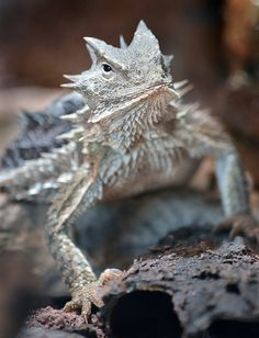 Leapin' lizard, by stinkersmell (Giant Horned Lizard at San Diego Zoo)