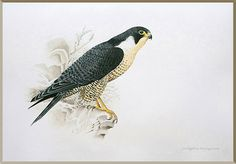 Peregrine Falcon by JOSÉ PROJECTO, watercolor