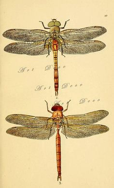 Dragonflies., an Antique Scientific Illustration #dragonflies #scientificillustration #vintageprintables