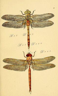 Dragonflies...Antique Scientific Illustration..Digital by artdeco, $4.00 #dragonflies #digital images #natural history # artdeco #digital downloads