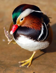 Mandarin duck | mandarin duck @ everland.korea | IN CHERL KIM | Flickr