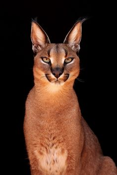The Caracal /ˈkærəkæl/ (Caracal caracal), also known as the desert lynx, is a wild cat that is widely distributed across Africa, central Asia and southwest Asia into India. 1j   (by Sandra)