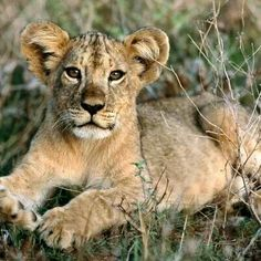 Day 24 Animal you would want as a pet, I know it's a bit extreme but I would want a lion cub and only the cub because the full grown lions are a bit too much and the cubs are really cute
