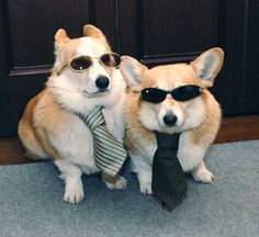 The Cruise Brothers - Corgi's with ties andsunglasses
