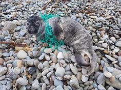 Pup picked up on Annestown B. (9/1/18), trapped in fishing net. He was very thin. The folds of skin are in fact the spare skin where he has lost the layer of blubber to survive in cold water. He was very underweight, prob. 50% to 70% of his healthy weight. The netting was cut off and brought to Seal Rescue Ireland. It is the 5th report to our office in 2 weeks and another call came about 2nd seal on Annestown beach. That makes 6 reports about distressed seals in the past 2w.