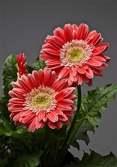 Gerbera daisy flowers are classified as herbaceous perennials....definitely annuals in cooler climates