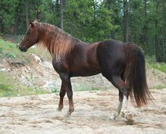 Davy Crockett - 1993 Deep Liver Chestnut, Missouri Fox Trotter Stallion