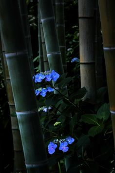 Hydrangea, Bamboo Forest, Japan