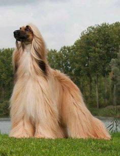 Beautiful Afghan hound. Please follow us on Facebook https://www.facebook.com/MyCrazyEmail