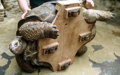 Windsor the giant tortoise on wheels, 1984