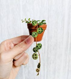 How cute is this Peperomia Prostrata! by love_houseplants Thank you for sharing with Get your own at Cacti And Succulents, Planting Succulents, Garden Plants, Planting Flowers, Balcony Garden, Cactus Plante, Best Indoor Plants, Outdoor Plants, Indoor Cactus
