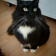 Sokrates.. Half Maine Coon and half Norwegian Forest cat.  He is a gentle giant.. Weighing 10 kg..