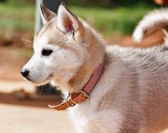 Tikaani the Siberian Husky Pictures 411184