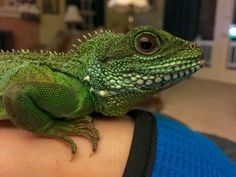 Woman Discovers Her Pet Chameleon Will Hold Anything She Hands Her - Someone gave their chameleon a miniature sword to hold and now everyones joining in