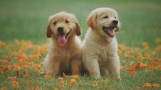 So you thought long and hard about finding a Golden Retriever breeder. Here are 5 signs of a reputable Golden Retriever breeder. Cute Puppies, Cute Dogs, Dogs And Puppies, Healthiest Dog Breeds, Baby Animals, Cute Animals, Dog Died, Disney Dogs, Pet Day