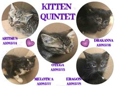 "KITTEN QUINTET - A1085774, A1085775, A1085776, A1085777, A1085778 - - Manhattan  **TO BE DESTROYED 08/21/16** What does Google know, that the ACC does not know? Well, lots of stuff, really, but when that question is posed with reference to the Kitten Quintet, the answer is ""How To Treat Kittens With Conjunctivitis."" Google knows that conjunctivitis can be treated with eye drops, ointments, salves, and TLC; why don't the ACC vets know this? Google knows the"