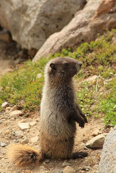 little cute marmot  (by Kerstin on Flickr)