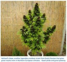 Holland's Hope #mmj #weed #cannabis #bong