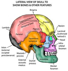 Immediate Anatomy – Head and Neck – Areas/Organs – Cranium – Lateral view of cranium – free medical books Human Skeleton Anatomy, Human Body Anatomy, Human Anatomy And Physiology, Dental Anatomy, Medical Anatomy, Human Body Facts, Anatomy Bones, Nursing School Notes, Anatomy Study
