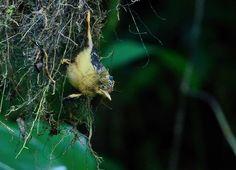 maria-leque-do-sudeste (Onychorhynchus swainsoni) por Luiz Ribenboim | Wiki Aves
