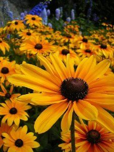 "Black-Eyed Susan - 100 Seeds, 250 mg - Rudbeckia by Hirts: Seed; Perennial. $0.75. Days to Germination: 10-15. Put a kiss of sunshine in your garden!. Perennial. The bright yellow blooms of the Black-Eyed Susan brighten everyone's spirits. Mature Height: 24-36"". RUDBECKIA:  Wonderful, free flowering daisies in colors from yellow to bronze and mahogany.  You can have them for years, but the original plants will only last a season or two.  The plants self-seed r..."