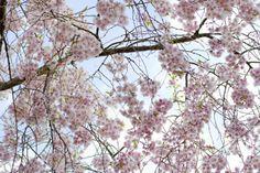 Cherry Blossoms - Tapetit / tapetti - Photowall keijumetsän seinä