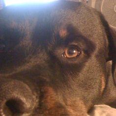 MY baby Rottweiler Rex!