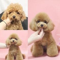 Dog Grooming Styles, Poodle Grooming, Pet Grooming, Yorkie Dogs, Dogs And Puppies, Corgi Puppies, Poodle Teddy Bear Cut, Poodle Haircut Styles, Poodle Cuts