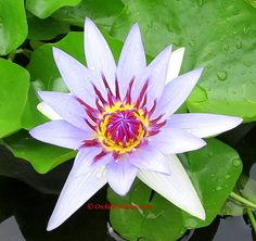 Water Lily Nymphaea colorata