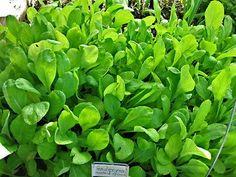 Mustard Spinach Seed Tendergreen Komatsuna Bulk 10000 Seeds 1oz Heirloom | eBay