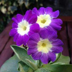 Auriculas Avonwick Primula Auricula, Paint Flowers, Primroses, Purple Garden, Bright Eyes, Blooming Flowers, Gardening, Fancy, Pretty