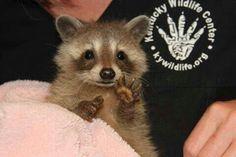 Itty bitty baby raccoon