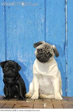 It would be a dream come true to have these as my own... Bert and Ernie! I've wanted Pugs since forever... Maybe one day!