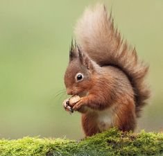 Red Squirrel in the wild, Scotland