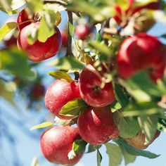 Deciduous Fruit Trees - Apples (including crabapples), peaches, pears, plums, and cherries should be pruned in midwinter.