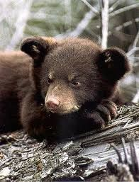 Check out these funny bear and cute bear pics,and videos. Black bear, grizzly bear, it doesn't matter, they can all be also beautiful. Bears are awesome. Grizzly Bear Cub, Bear Cubs, Polar Bear, Panda Bears, Spirit Bear, Spirit Animal, Bear Pictures, Animal Pictures, Baby Animals