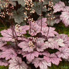 Heuchera 'Sugar Plum' from the Chelsea Gold Medal winning nursery Plantagogo, which is also the holder of the National Collection for Heuchera, Heucherella and Tiarella. Shade Garden Plants, Garden Shrubs, Beautiful Gardens, Beautiful Flowers, Coral Bells Heuchera, Pink And White Flowers, Hardy Perennials, Unusual Plants, Woodland Garden