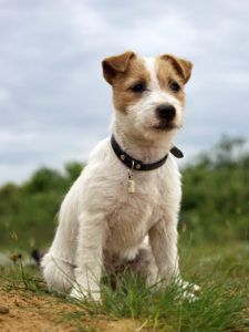 Jack Russell Terrier Dogs 101 Fun Facts Information Parson Russell #jackrussell