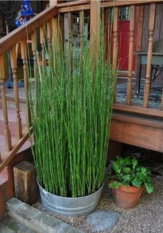 Equisetum can create privacy. It grows so quickly, but grown in a container restricts the roots from getting out of control.