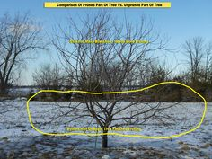 Oak Tree Trees And How To Grow On Pinterest