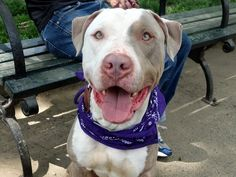 """GLEASON - A1035847 - - Manhattan  TO BE DESTROYED 05/29/15 A volunteer writes: It would be understandable if this stunning, velveteen dog thinks his name is """"Awwww!"""" because that's what everyone says immediately upon meeting him. He is tooth-achingly sweet, to the dogs he meets in the back, to all the humans who stop to fawn over him, and he cannot get enough human affection. During a rousing game of ball–and he is in the big leagues of ball talent&#"""